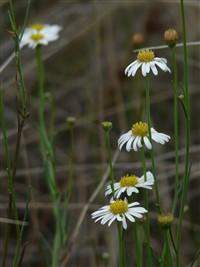 Basalt Daisy web