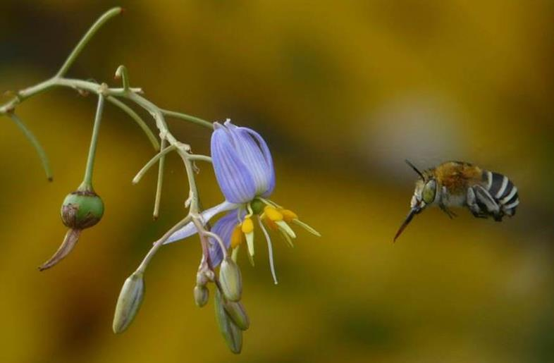 Blue Banded Bee pollinating Dianella