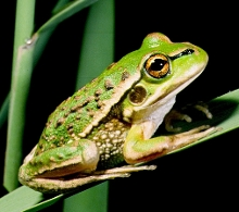 Growling Grass Frog metamorph by G Heard