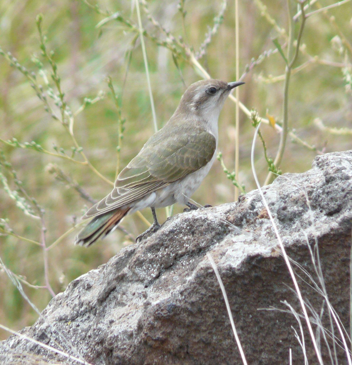 Horsefields Bronze Cuckoo