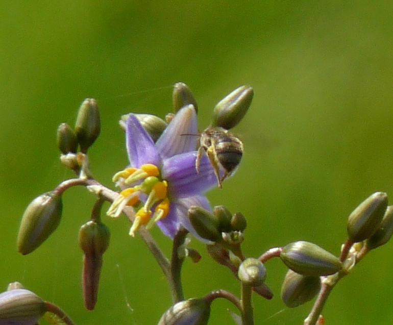 Native Bee and Dianella sp. aff. longifolia Benambra Pascoe Vale d