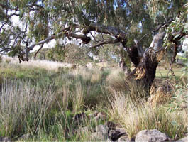 Aitken Creek, Craigieburn - once surrounded by dense tussock grasslands and ancient red gums and was teeming with wildlife.  It may have looked like this prior to European Settlement. Actual photo: Malcolm Creek, Craigieburn
