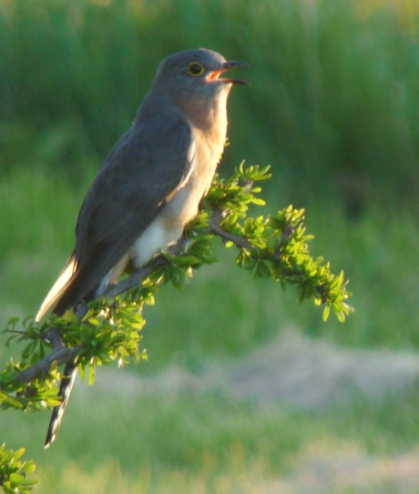 Enhanced Pic of Fantail Cuckoo v2