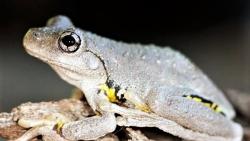 Perons tree frog CR Craig Lupton