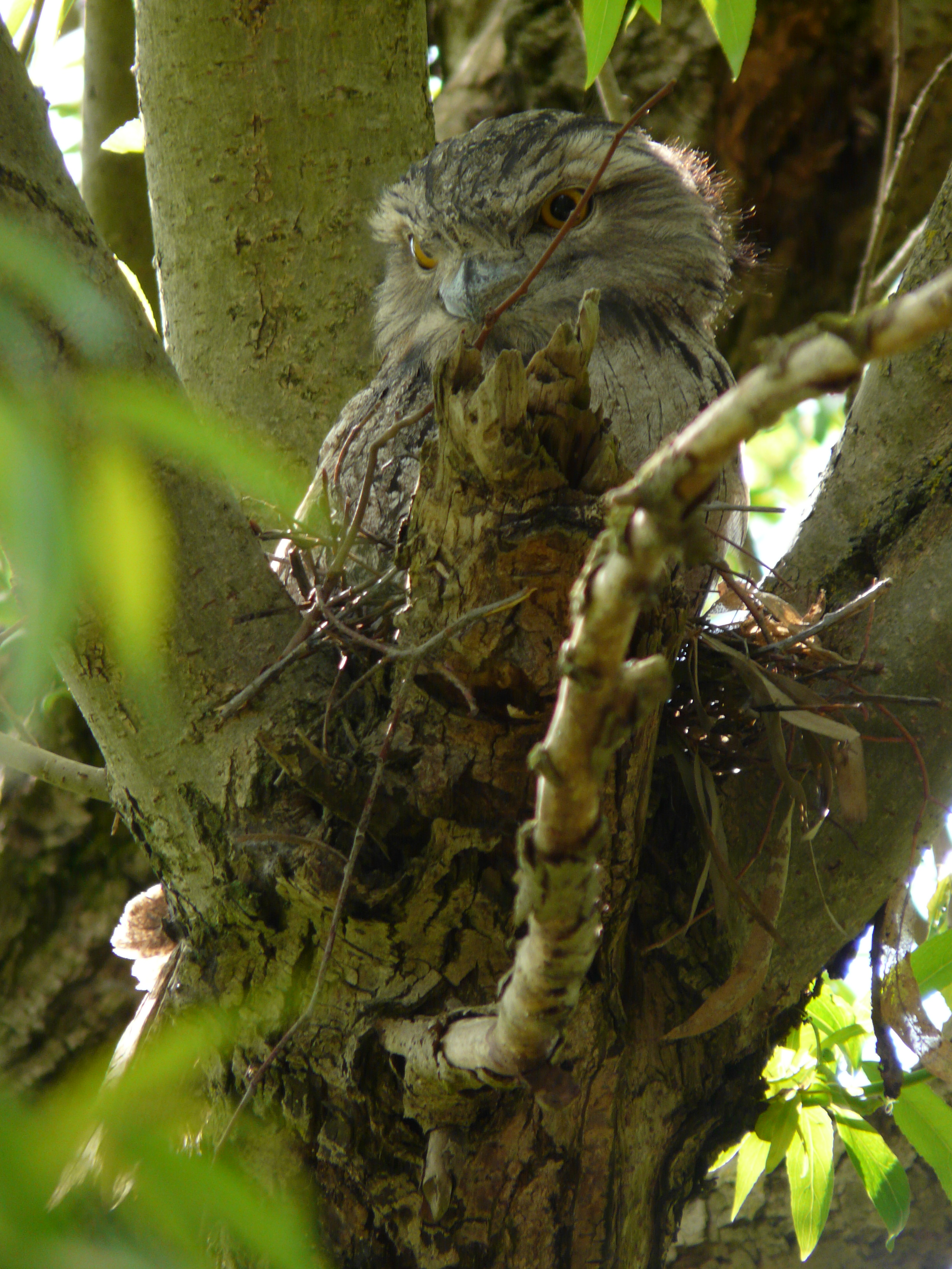 Tawny Frogmouth on nest at CERES