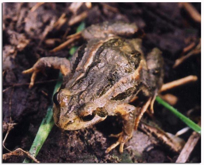 common froglet mcmc