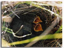 Pippit Nest – ground nesting bird