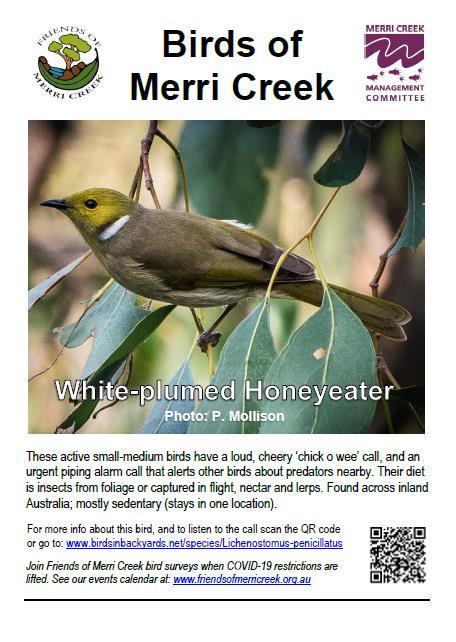 White plumed Honeyeater poster web